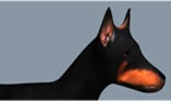 An animated Doberman dog walking FBX format for 3ds Max, Maya, Softimage, etc