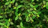 leaf leaves