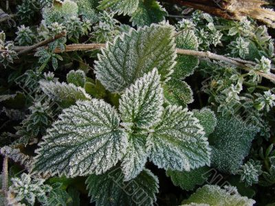 Morning hoarfrost on alive green leaves