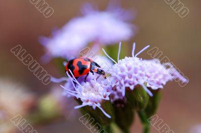 Ladybird eating petal of purple flower