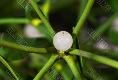 Macro of a mistletoe berry