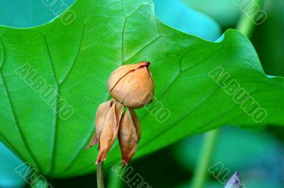 Faded lotus flower behind large leaf