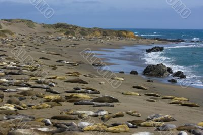 Elephant seal pups on the beach in Big Sur