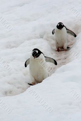 Gentoo penguins following their trail