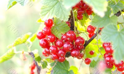 Bunch of red currant in sunlight