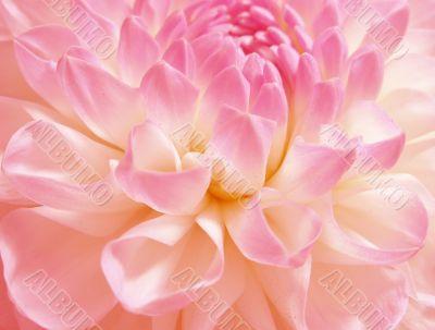 Fine rosy flower