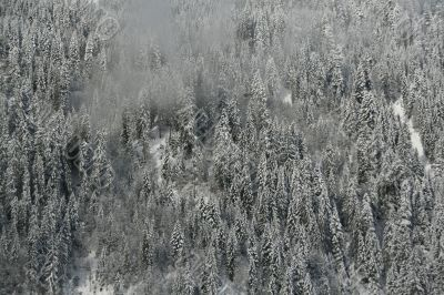 New snow on conifer forests