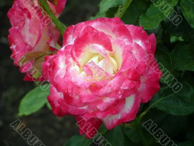 Double Delight Red Rose