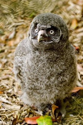 Great Grey Owl Chick