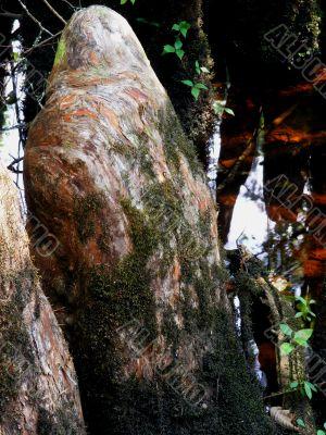 Cypress Knee in the Swamp