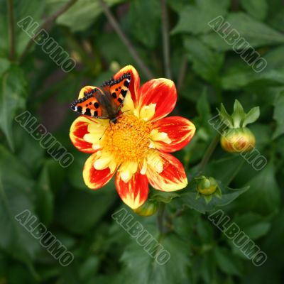 Colorful Butterfly on Dahlia Flower with Bud on Green Background