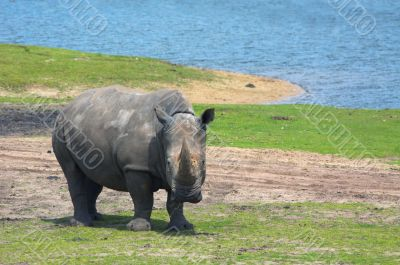 big rhinoceros