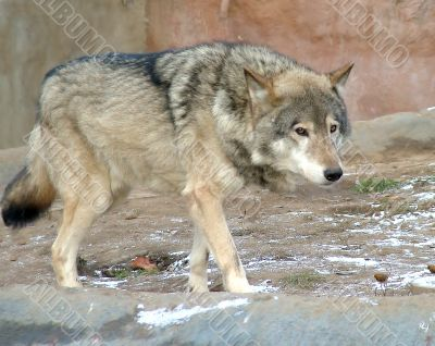 Wolf - owner the cage