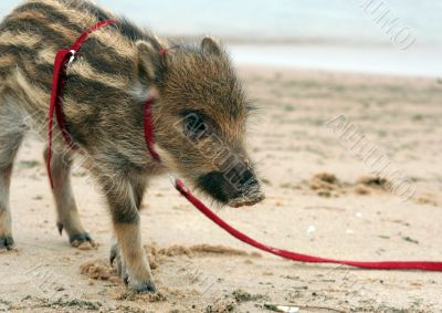 Striped pig on a cord