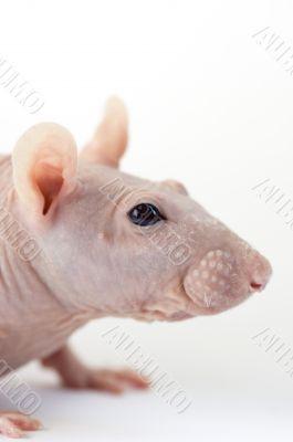 Portrait of sphinx rat