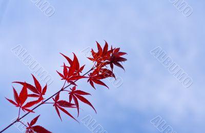 Maple leaves twig