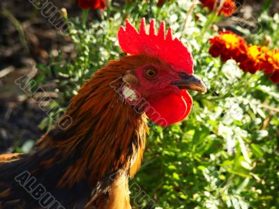 BRAVE ROOSTER