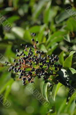 Elder-berry