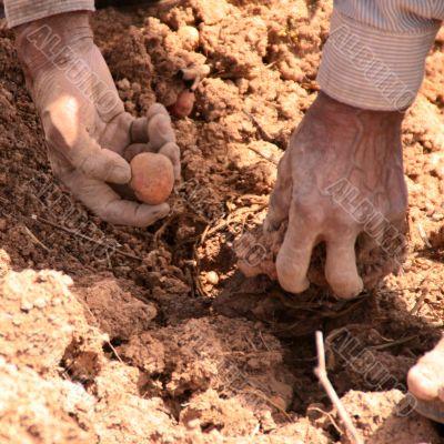 potato harvest in peru