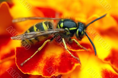 social wasp on the flower