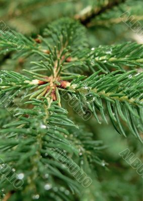 Fir twig with dew drops - vertical