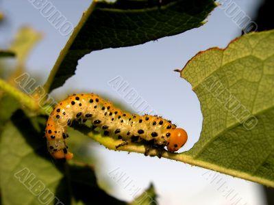 Larva eating green leaf