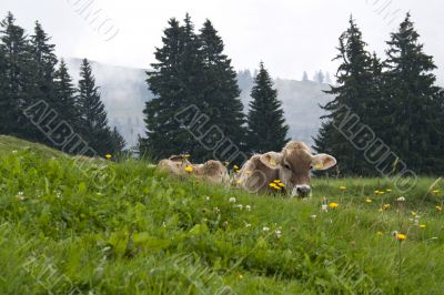 Swiss cow on the meadow