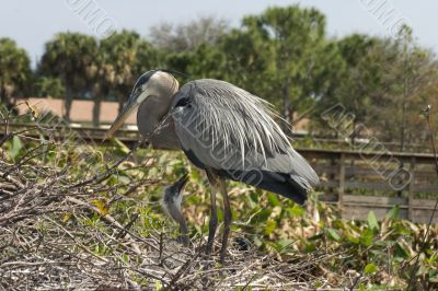 Mother Blue heron and chick