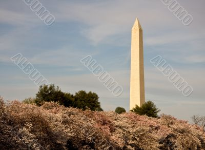 Cherry Blossom and Washington Monument