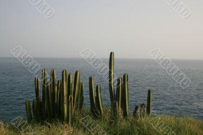 Сactuses on the ocean coast