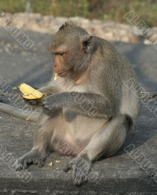 Fat monkey eating banana