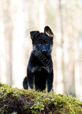 Germany Sheep-dog puppy sitting on a stone acquired a moss