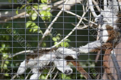 Two monkeys play fighting in a cage