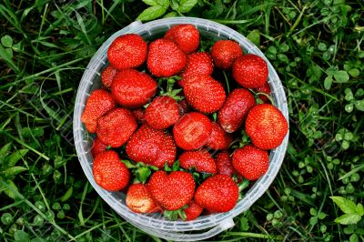 Fresh and juicy, a rain watered, the strawberry in an extra pack