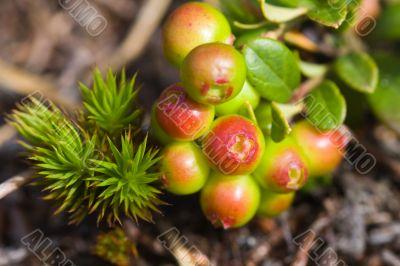 Cowberry bush