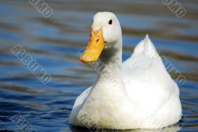 White Snow Goose Bird