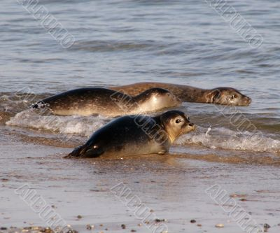 oung seals at the beach of Helgoland