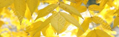 background from yellow foliage