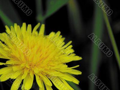 Dandelion. A field flower.