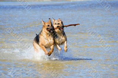 two wet Germany sheep-dogs running on sea water