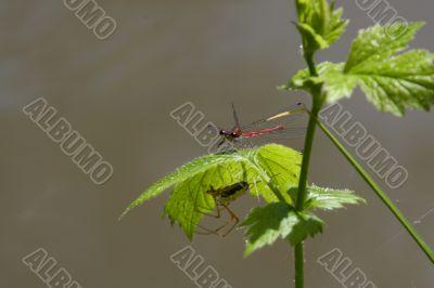 Vagrant Darter (Sympetrum vulgatum) and  European garden spider