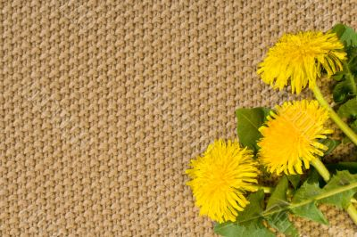 Beige textile Backgrounds close-up and spring dandelions