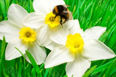 An insect is a bumble-bee