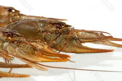 European crayfish