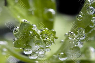 parsley in water macro