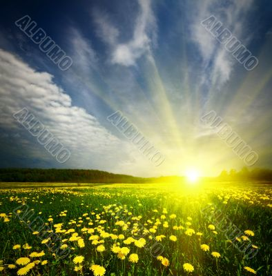 field of grass with dandelion in sunset