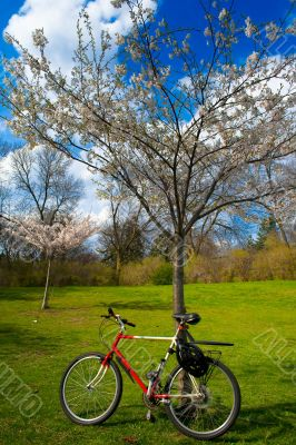 Red and white bicicle near spring coloured tree in High Park, To