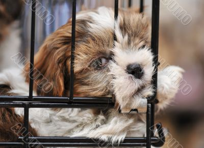 puppy shihtzu in cage