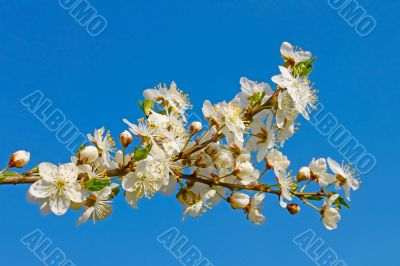 Flowering cherry twig