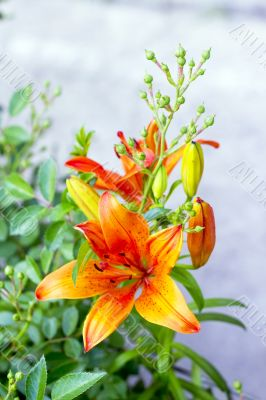 orange lilies blooming on a bed of flowers